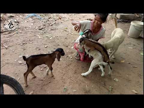 Wow! Amazing Dog Feeding Babies Goat- Feed Goats With Milk
