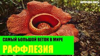 Раффлезия - самый большой цветок в мире
