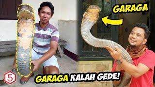 Garaga Kalah gede , Ular King Cobra Raksasa Terpanjang di dunia ditemukan di pedalaman Kalimantan..