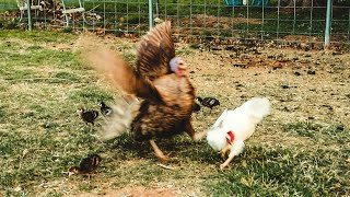 mama-turkey-defends-her-chicks-more-than-i-expected