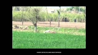 Pig Hunting Video in Pakistan Hog hunting boar hunting with Dogs.soor ka shikar, haveli fight