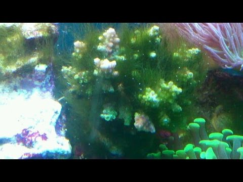 How to remove green hair algae from a reef tank.