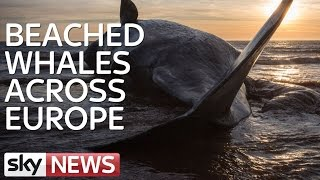 Beached Whales Across Europe