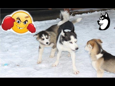 Husky Puppies Play Fight: Trips vs Jeidy and Zoro vs Ringa