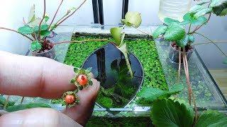 Ep.11 Strawberry Betta Tank (Never Seen Strawberry) No filter, No CO2, NO ferts Nano Tank