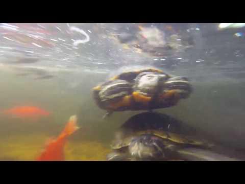 Go Pro Pet Turtles feeding frenzy