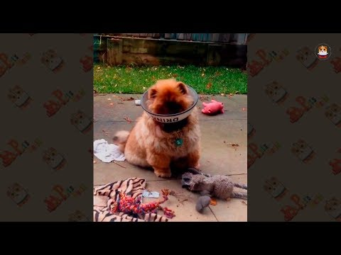 Funny & Cuteness Overload Pomeranian Compilation 2018 # 1