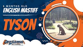 """6-month Old English Mastiff, """"tyson:"""" Mastiff Training In Virginia"""
