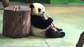 20141021-彪拔拔給的愛心筍 The Giant Panda Yuan Zai
