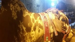 Live With My Cheetah Bull Of The Year First Night Moments
