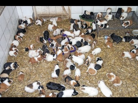 GUINEA PIG PIGS !!!!!!!!!! At The Giza Zoo - Egypt