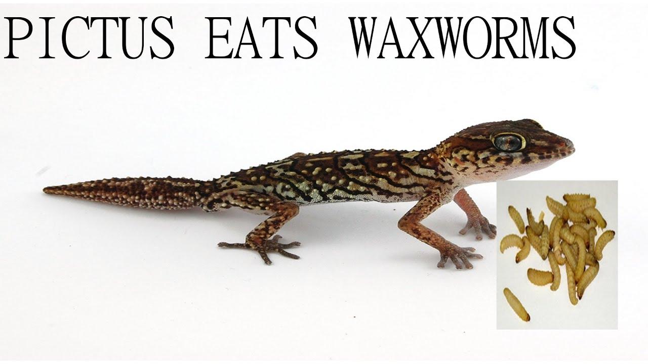 Pictus Gecko Eating Waxworms Gecko Guy Youtube