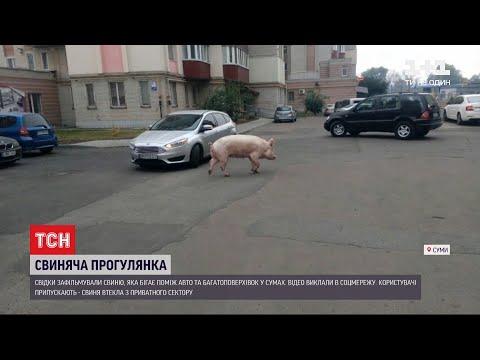 Сумська свиня: у