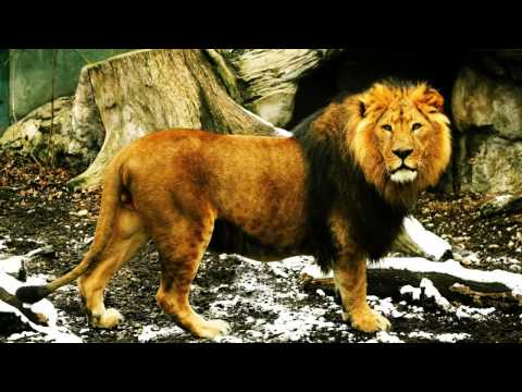 Lion roar and other lion sounds - YouTube - photo#36