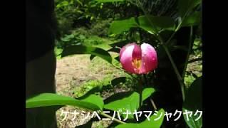 鶴見岳・九重山・阿蘇の花(H29.6.10-11撮影-フルーツトマト) BGM(デイ...
