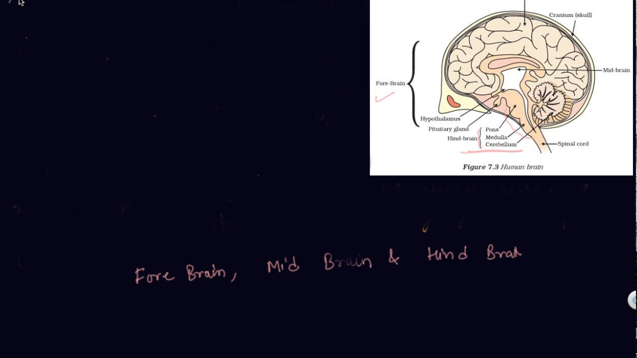 Human Brain Class 10 Biology Control And Coordination Youtube