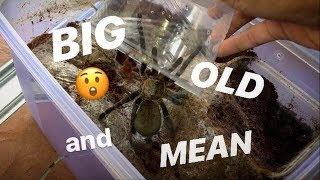 I got 3 new ADULT old world TARANTULAs ~ and they're NOT HAPPY to meet me !!!