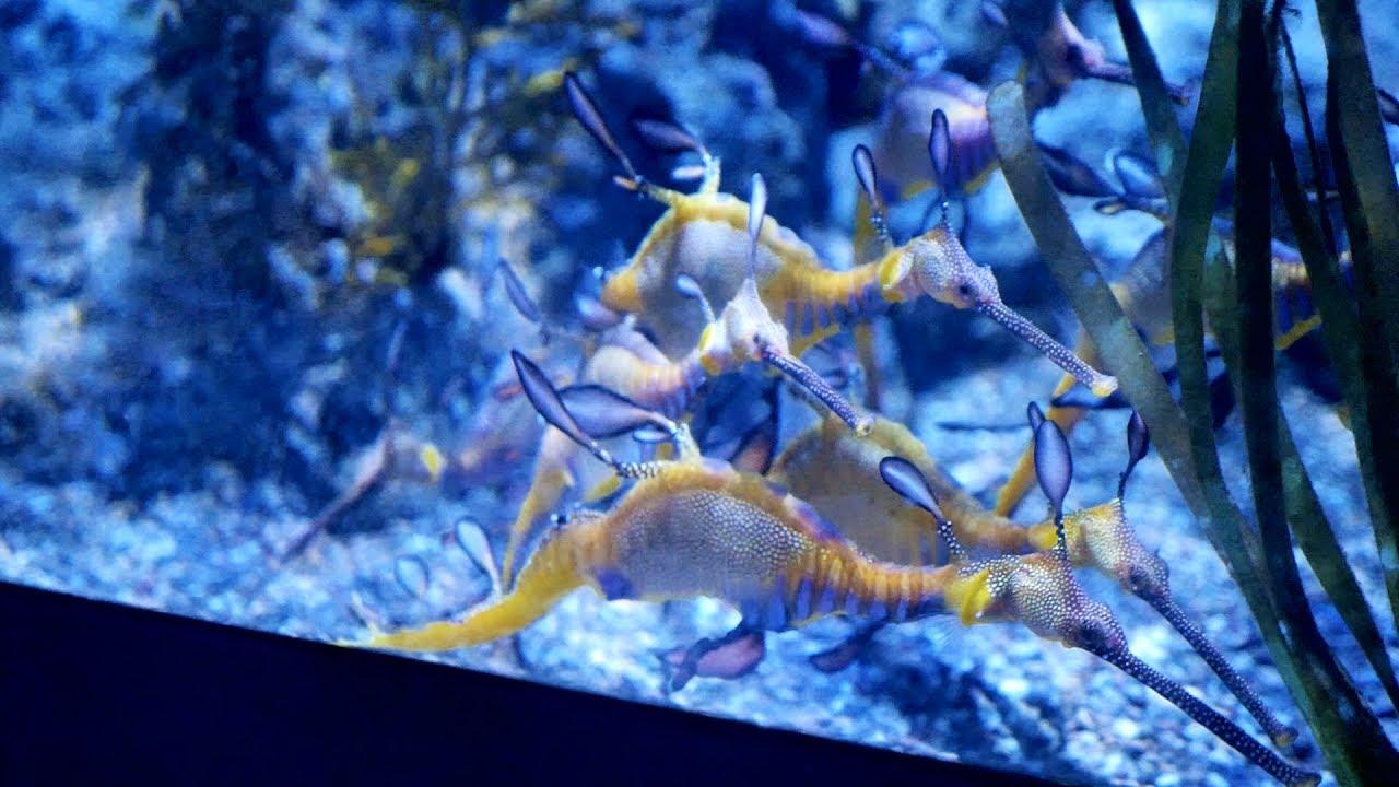 Seahorse in aquarium fish tank at sea aquarium singapore for Seahorse fish tank