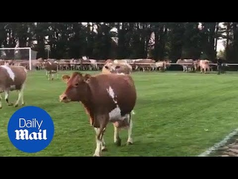 Hilarious moment football match is abandoned due to cow invasion - Daily Mail