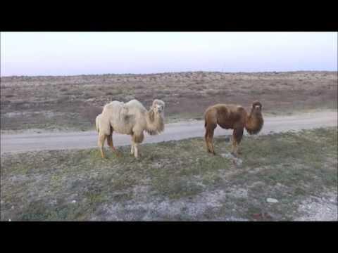 Как правильно пасти верблюдов