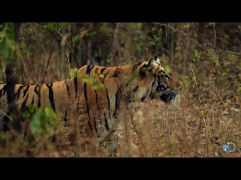 Tigers Take Down a Bear