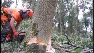 HUSQVARNA 576XP FELLING HARD WOODS...