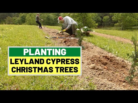 #133 Planting Leyland Cypress For Christmas Trees - Our Last Planting Of Spring 2020