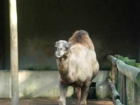 Camels Sao Paulo Zoo