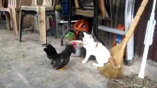Кот против петуха / Rooster Vs Cat