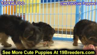 Yorkie Poo, Puppies, For, Sale, In, Badger, County, Alaska, Ak, Kink Fairview, College