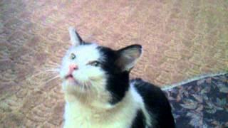 Влюбленный кот требует кошку
