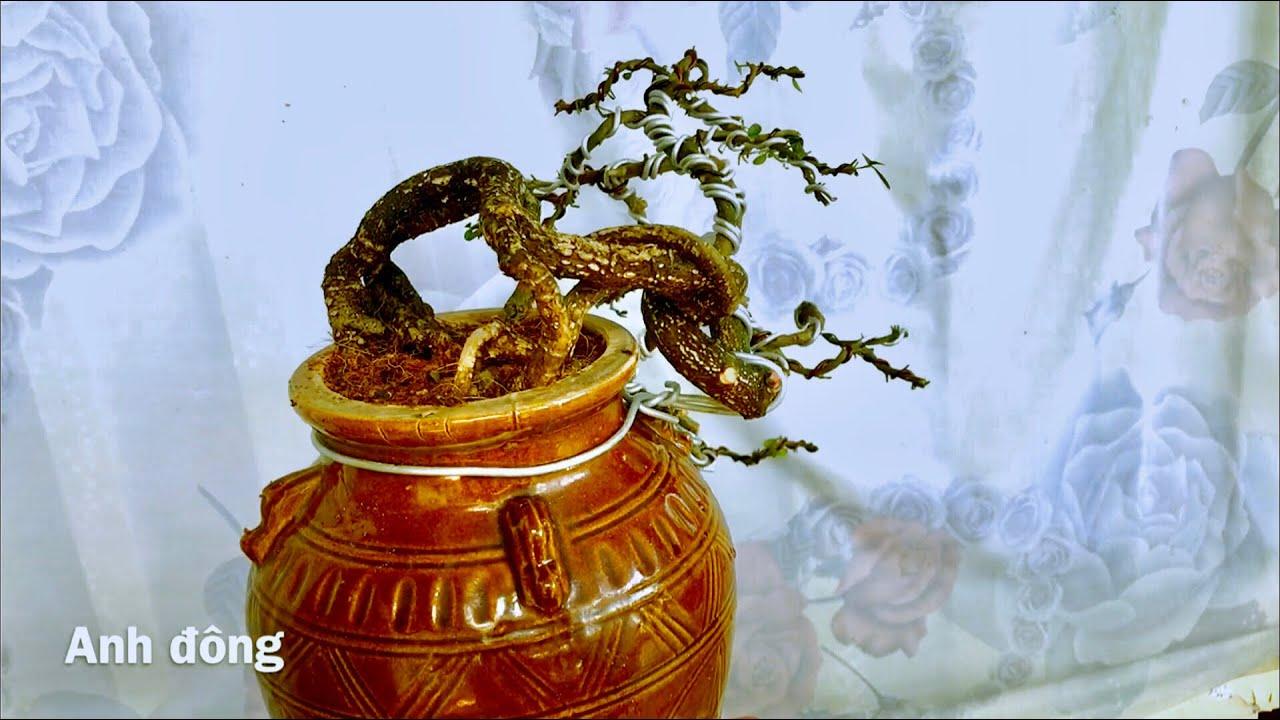 Cách uốn cây bonsai bị thiếu nhánh