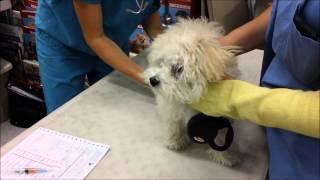 Zoey Toy Poodle Gets Bordetella Petco