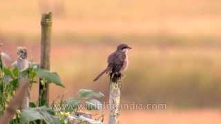 Tibetan Shrike preens in Arunachal Pradesh