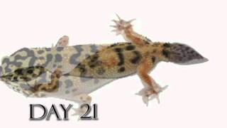 Leopard Gecko Time Lapse Tail Regeneration (Regenerated Leopard Gecko Tail)