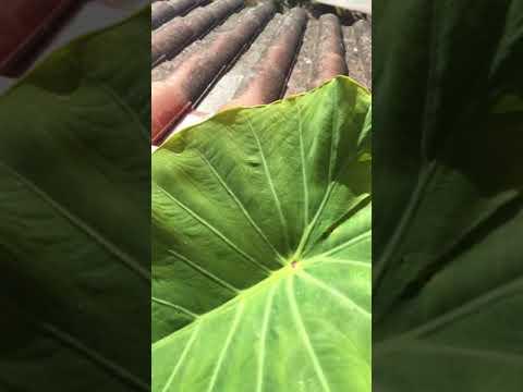 Colocasia esculenta hydrophobie