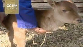 بالفيديو.. ولادة نادرة لـ«عجل» بساقين في الصين