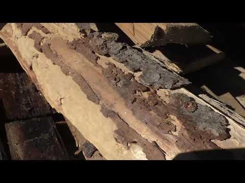 Жук усач или жук дровосек, в деревянном доме ч2