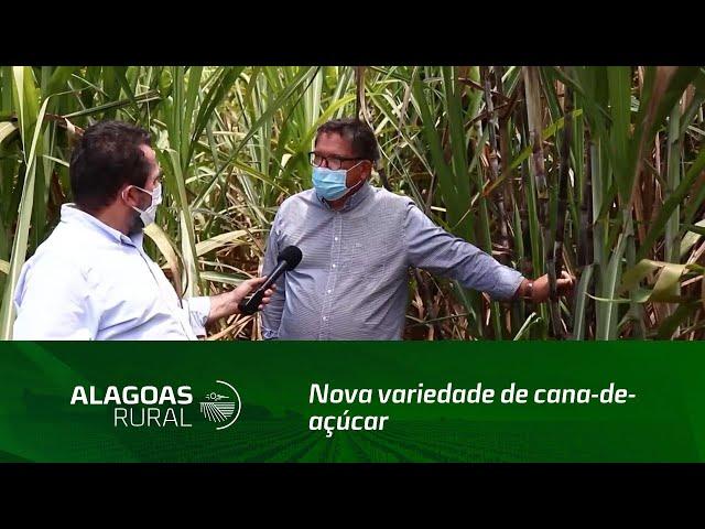 Nova variedade de cana-de-açúcar se destaca na Usina Santo Antônio