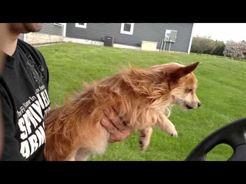 Dog thinks she's running as fast as golf cart