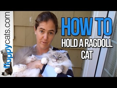 How to Hold a Ragdoll Cat  How to Pick Up a Ragdoll Cat