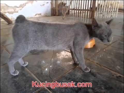 Kucing Busok Kaki Ciri Ciri Kaki Kucing Busok Madura