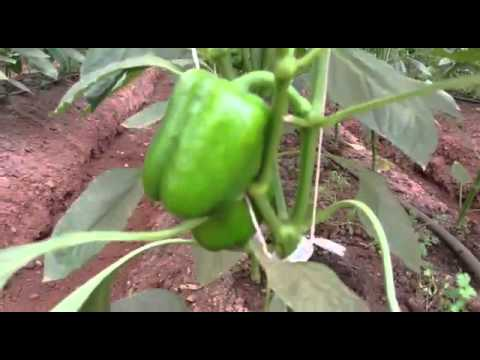 100% Organic Farming Result in Capsicum Crop in just 35 days By Saanvi Organics