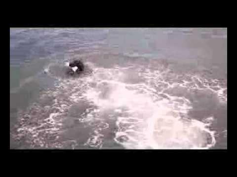 Flatcoated Retriever Atos Dog splash