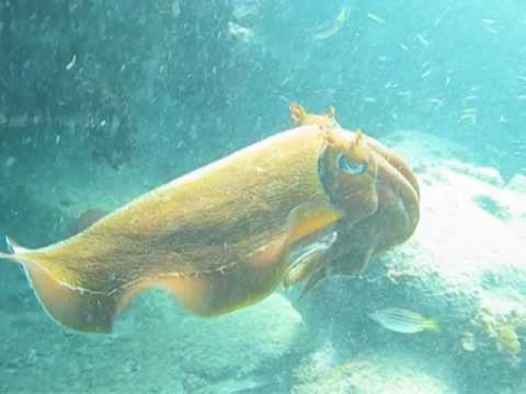 Giant Cuttlefish: Displays And Color Changes