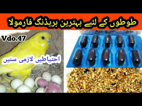 Australian Parrots: Breeding Formula, Budgies Parrots Eggs Breeding Formula by |Arham|., Video. 47 thumbnail