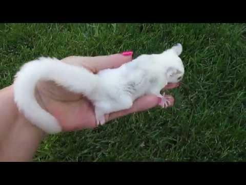Sugar Glider Joey Playing Outside