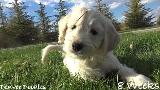 Adorable Teddy Bear Like Goldendoodle Puppies ~ 8 Weeks