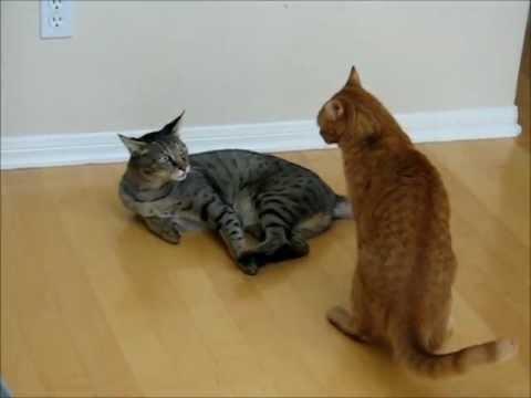 "Jungle Cat Hybrid (Chausie) video ""Sanura"": compilation 2012"