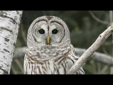 Barred Owl Calls (New York)